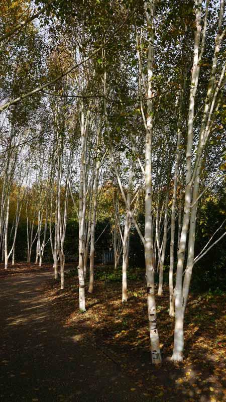 Silver Birches-800