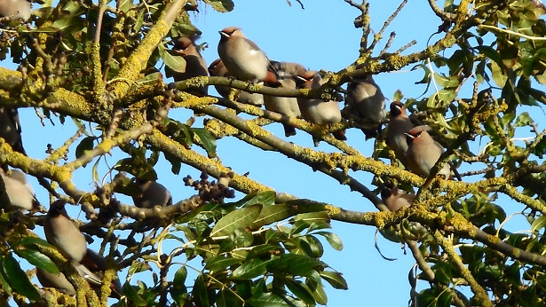 4732-waxwings-holme-bl-615