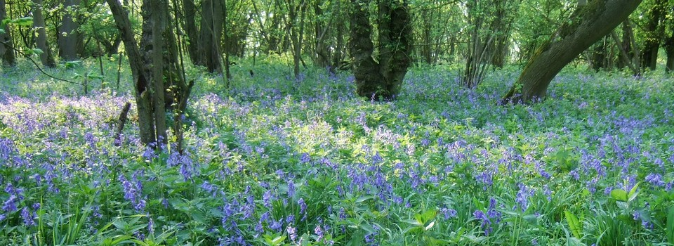Bluebells-Chrishall-PC-2-960