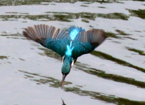 BIRD GROUP Kingfisher.jpg